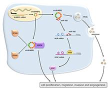 Mol Cancer丨外泌体circSHKBP1通过调控miR-582-3pHURVEGF轴和抑制HSP90降解来促进胃癌进展
